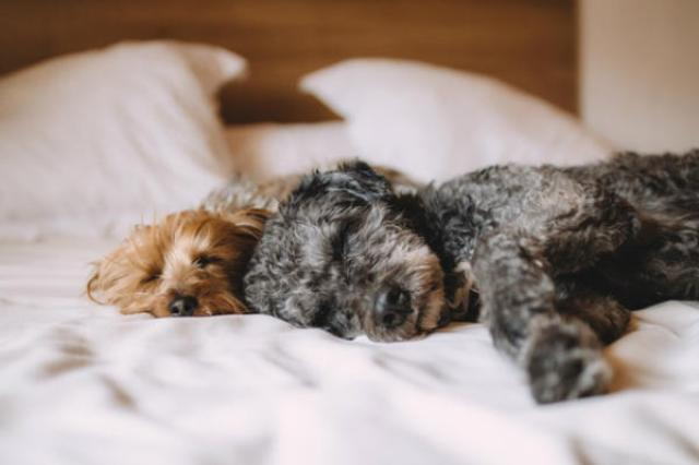pet in bed